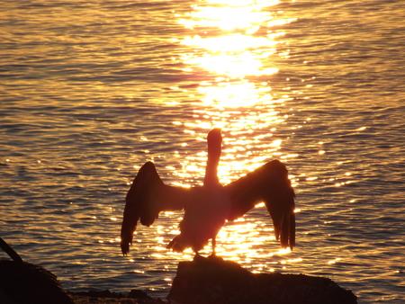 Sunset Pelican Silhouette Banco de Imagens