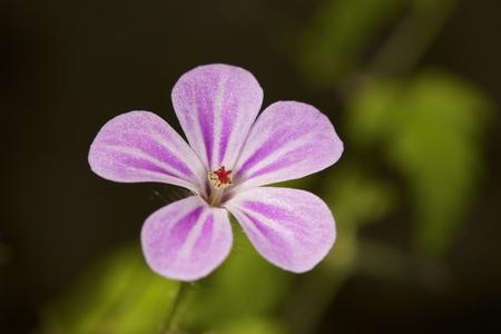 wild flower: Pink wild flower. Forest nature, summer flowers Stock Photo