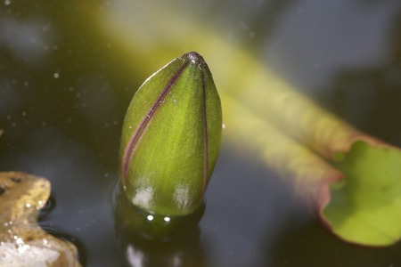 knospe: Newborn lotus. Lotus bud in water. Natural surrounding Stock Photo