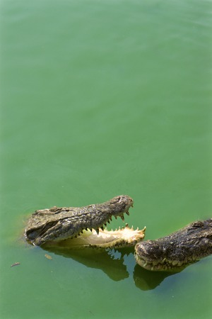 jaws: Crocodile jaws. Green river water with pair crocodile jaws
