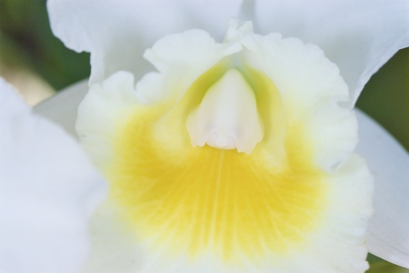 cattleya: Cattleya in white. Yellow center in white orchid flower Stock Photo