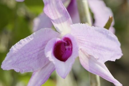 Pale pink flower. Dendrobium vagina-like orchid flower.
