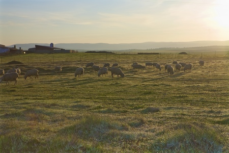 seep: Sunrise sheep. Early morning field with seep on it.
