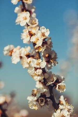 Takken van de abrikoos tijdens de bloei op een achtergrond van blauwe. Stockfoto