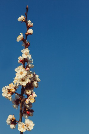 Branches of apricot during blossom on a background of blue.