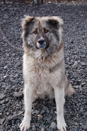caucasian shepherd: Caucasian shepherd guarding the yard of a private house sitting on a chain