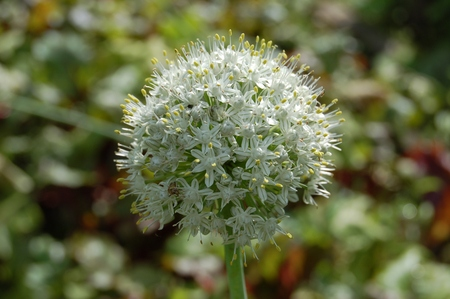 Luke: Allium stipitatum, Blooming hand Luke stalked Allium stipitatum with seeds Stock Photo