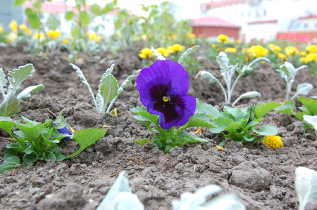 violas: Flowers violas, pansies, violet planted in a flowerbed near the business center, the street of Gagarin .The Town Of Khanty-Mansiysk
