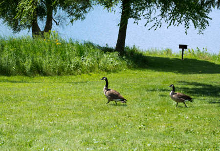 recreational area: Geese at Mariposa Lake and Recreational Area - Jasper County, Iowa
