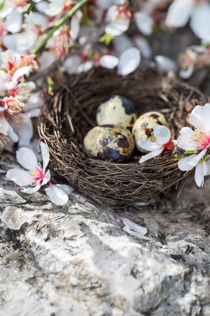 Quail eggs in the small nest under almond blossom Stock Photo