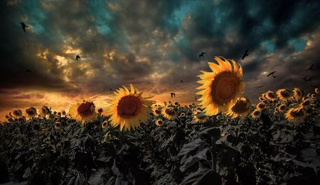 sunflower field Stock Photo - 26016775