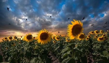 giant sunflower: sunflower field 2