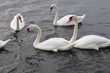 wild swans Standard-Bild