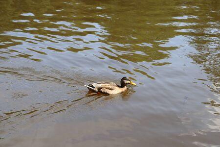 duck Standard-Bild