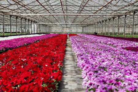 Flowers of colored in a greenhouse.