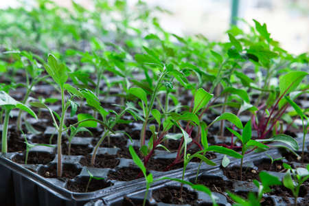Seedlings in plastic black germination tray.