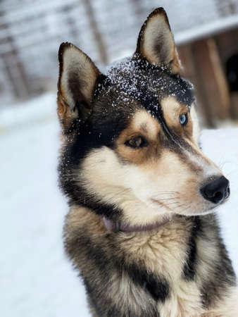 Siberian Husky, blue eyes. Dog is walking on snow.