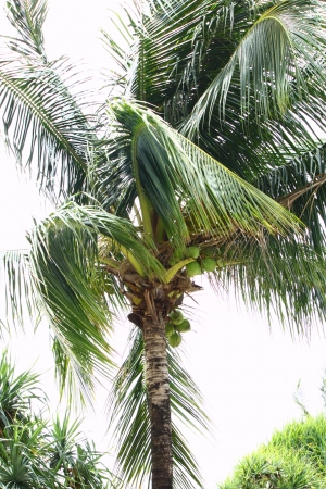 Coconut Tree photo