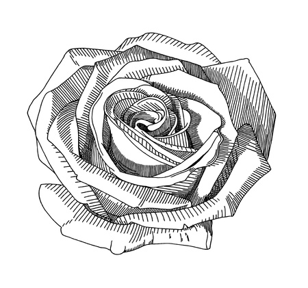 freehand drawing: hand draw sketch rose
