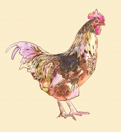 watercolor painting sketch cock  Illustration