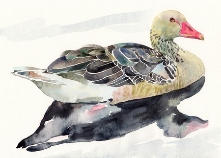 hand draw watercolor bird, duck  I am author of this illustration Stock Illustration - 13756710