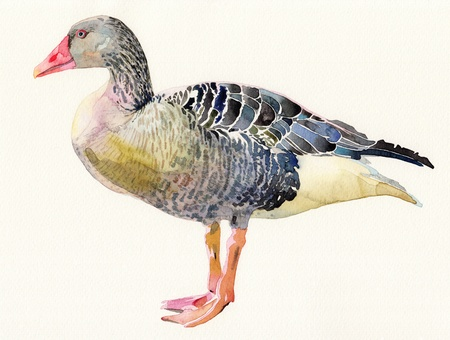 ornithological: original watercolor painting of bird, Anser anser  I am author of this illustration