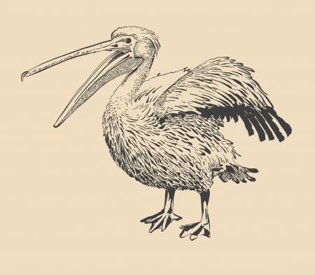 dessin à l'encre originale de pélican à bec ouvert (Pelecanus onocrotalus). Je suis l'auteur de cette illustration