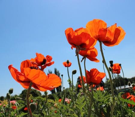 opium poppy: poppy flower