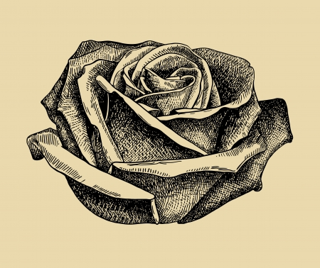 hand draw sketch rose Vector