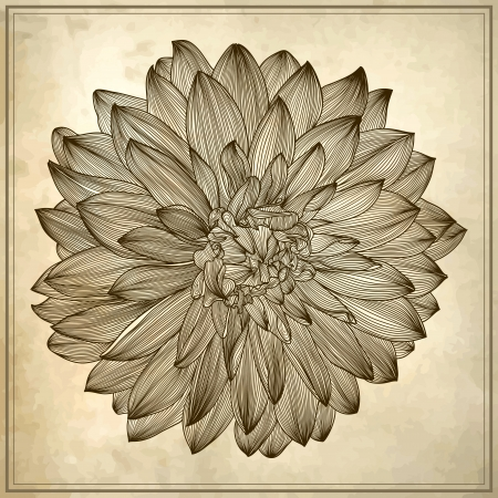 macro flower: drawing of dahlia flower on grunge background. Element for your design, engraving style Illustration