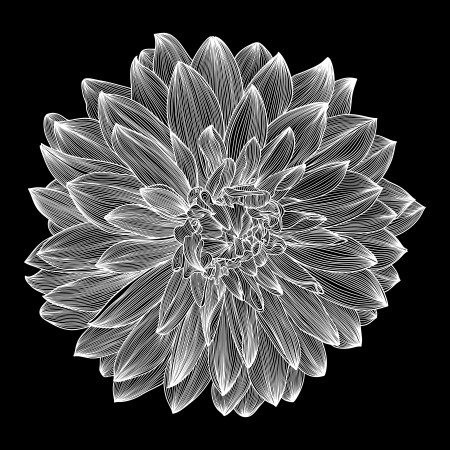 dalia: dibujo en blanco y negro de la flor de dalia. Elemento para el dise�o de estilo de grabado,