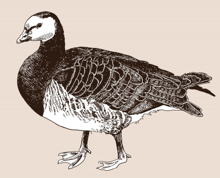barnacle: digital drawing of Barnacle goose (Branta leucopsis), engraving style