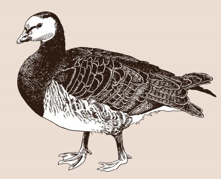 digital drawing of Barnacle goose (Branta leucopsis), engraving style