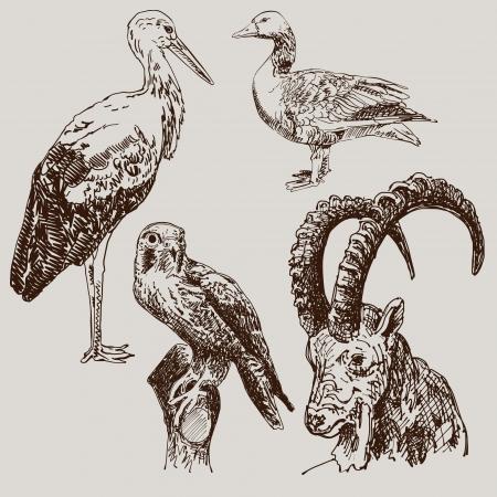 pajaro dibujo: dibujo digital de cigüeña, halcón, ganso y cabra