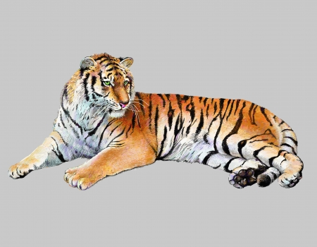 scetch colored drawing realistic illustration of tiger, isolated, vector version Ilustrace