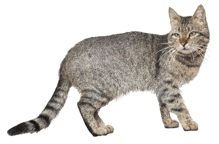 animal pussy: drawing of cat isolated on white, vector version Illustration