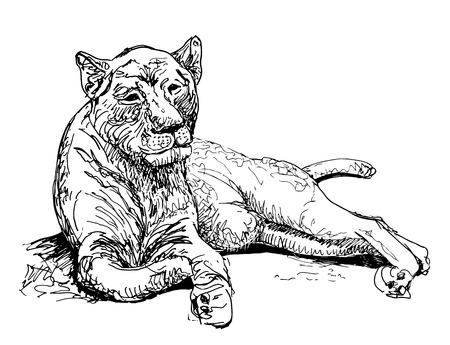 original artwork old lioness, black sketch drawing animal, isolated on white background, vector llustration Vector