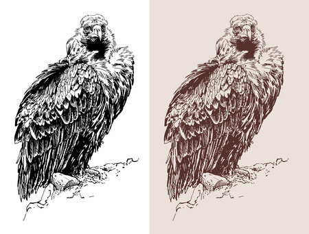 carrion: artwork of griffon vulture (Aegypius monachus), known as the black vulture, monk vulture, or eurasian black vulture, black and white sketch digital drawing, and sepia version, vector illustration