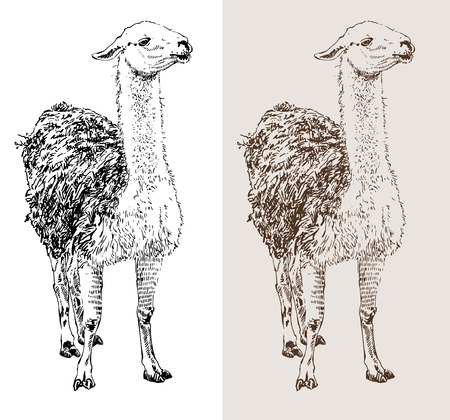 artwork lama, digital sketch of animal, realistic black and white drawing and sepia version, isolated on white background, vector illustration Vector