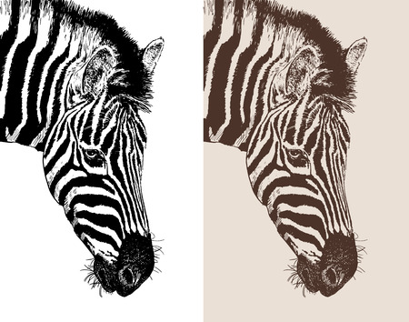 artwork head profile zebra, digital sketch of animal, realistic black and white drawing and sepia version, isolated on white background, vector illustration Illustration