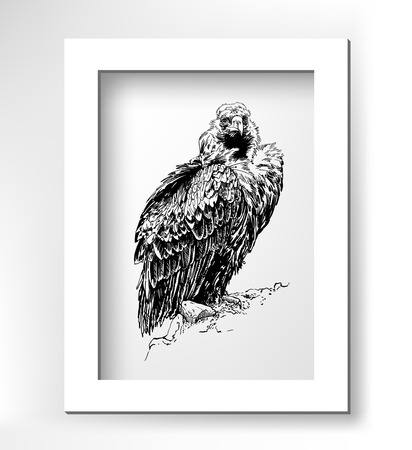 carrion: artwork of griffon vulture Aegypius monachus, known as the black vulture, monk vulture, or eurasian black vulture, black sketch digital drawing with white minimalistic frame, vector illustration