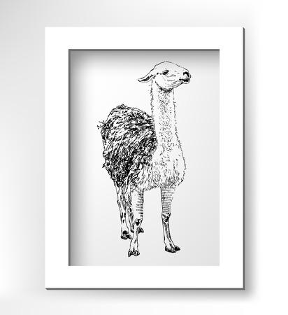 artwork lama, digital sketch of animal, realistic black drawing with white minimalistic frame, vector illustration Vector