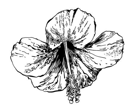 sketch drawing of hibiscus flower, handmade vector illustration  イラスト・ベクター素材