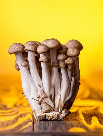 Asian edible mooshrooms shimidzhi brown on orange backdrop. Front view. Healthy eating concept.
