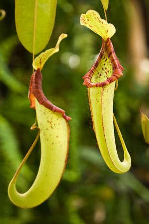 predatory: Predatory plant