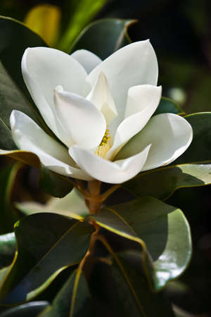 the magnolia: Magnolia flower