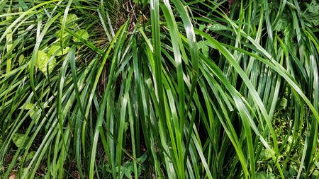 Natural background, green sedge closeup. Shiny, glossy grass plant