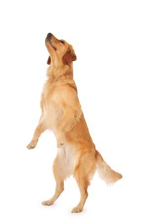 trained: Standing Golden Retriever.