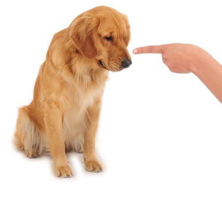 obedience: Cheeky perro. Concepto de la ense�anza.