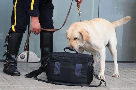 sniff dog: Labrador smelling handbag.